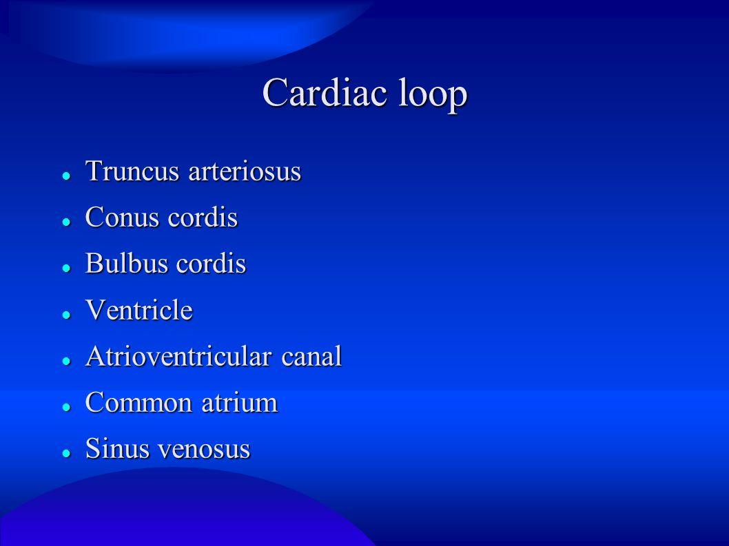 Cardiac loop Truncus arteriosus Conus cordis Bulbus cordis Ventricle