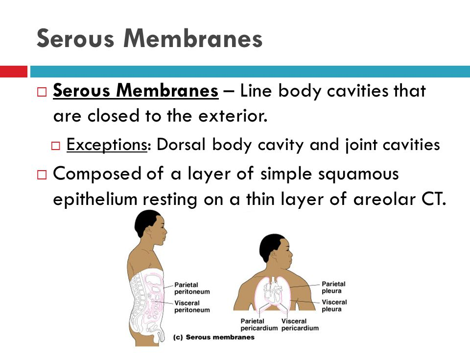 Serous Membranes Serous Membranes – Line body cavities that are closed to the exterior. Exceptions: Dorsal body cavity and joint cavities.