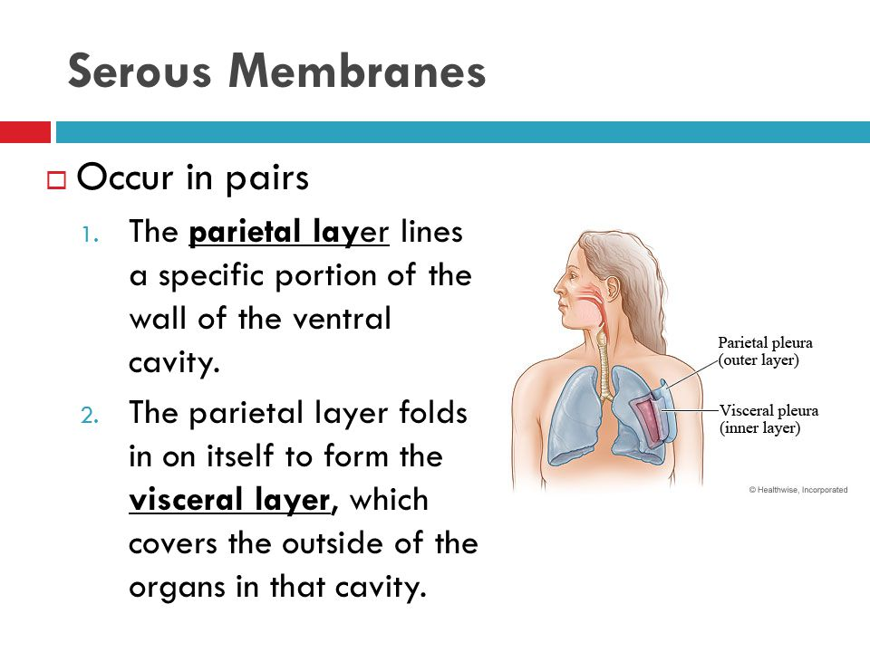 Serous Membranes Occur in pairs