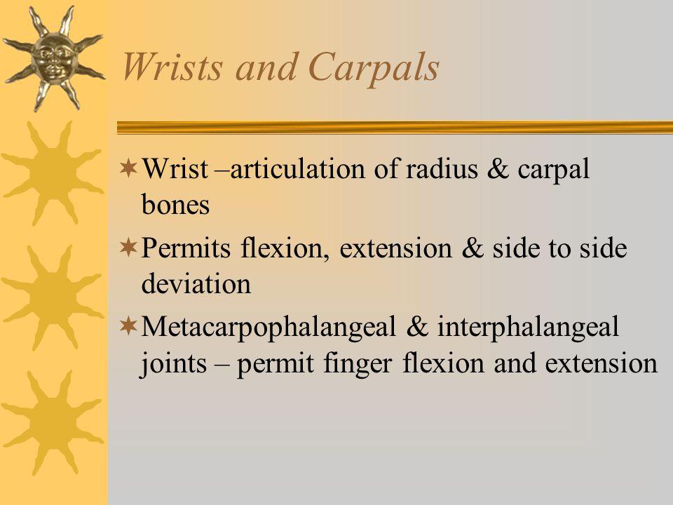 Wrists and Carpals Wrist –articulation of radius & carpal bones