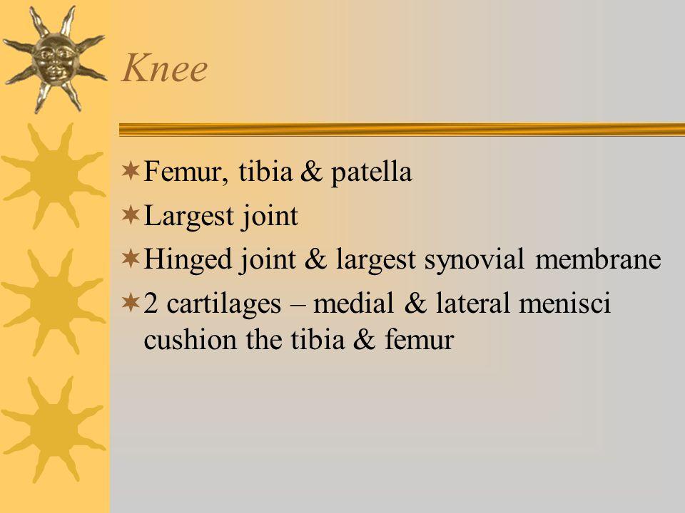 Knee Femur, tibia & patella Largest joint