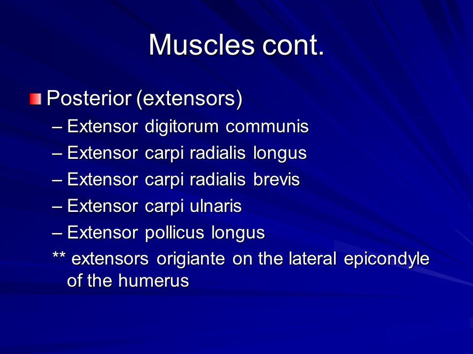 Muscles cont. Posterior (extensors) Extensor digitorum communis
