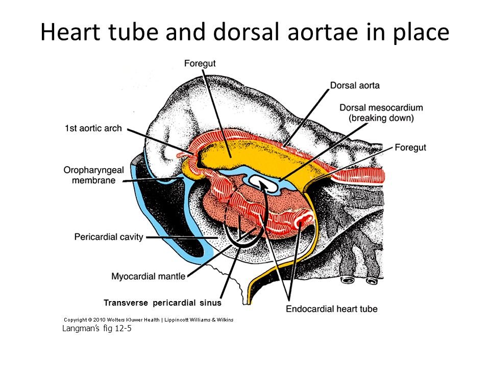 Heart tube and dorsal aortae in place