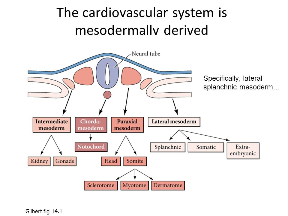 The cardiovascular system is mesodermally derived