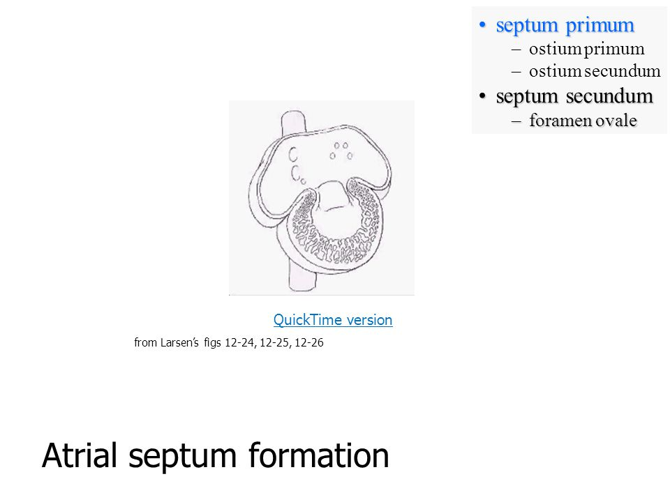 Atrial septum formation