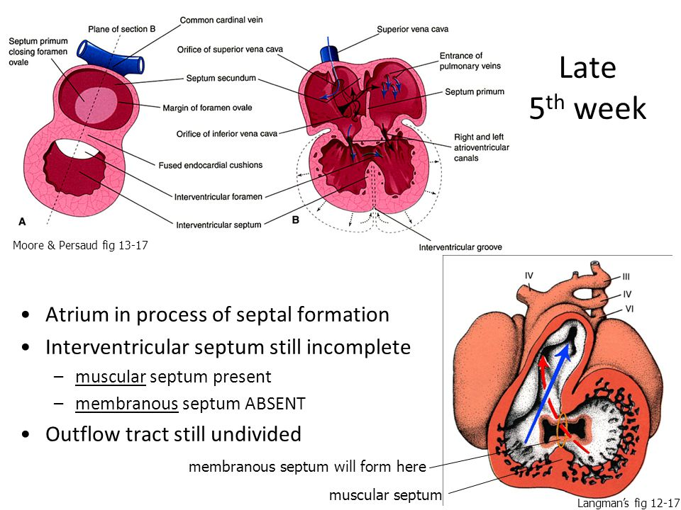 Late 5th week Atrium in process of septal formation
