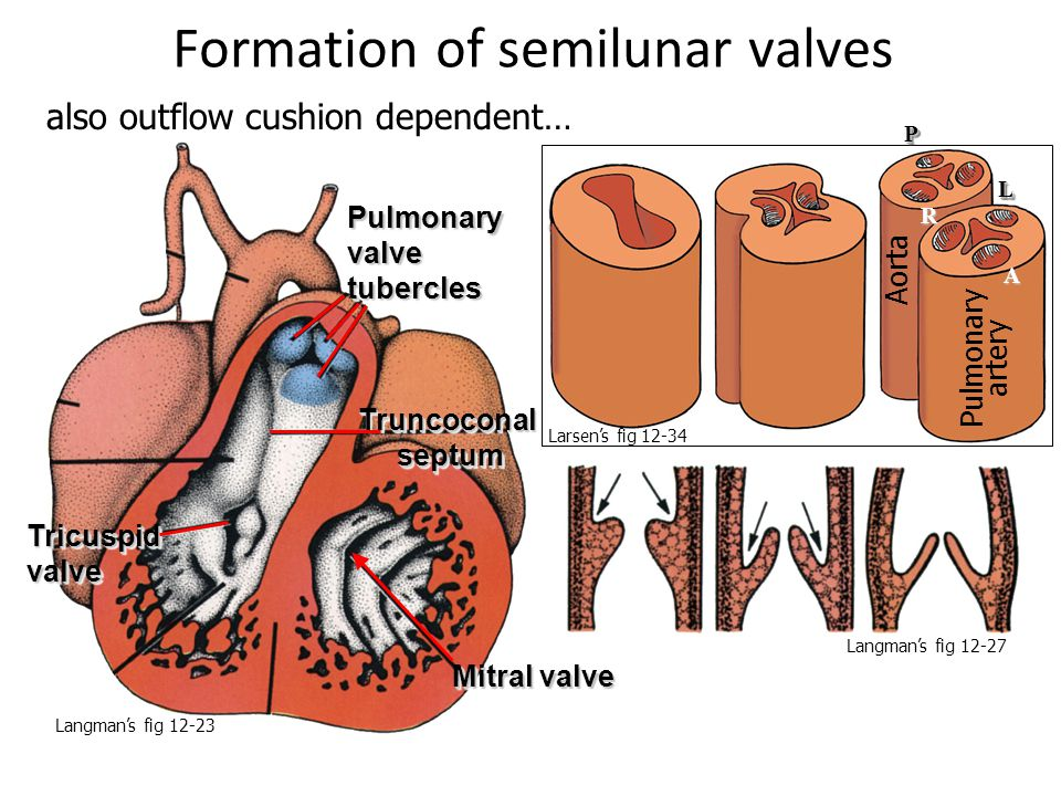 Formation of semilunar valves