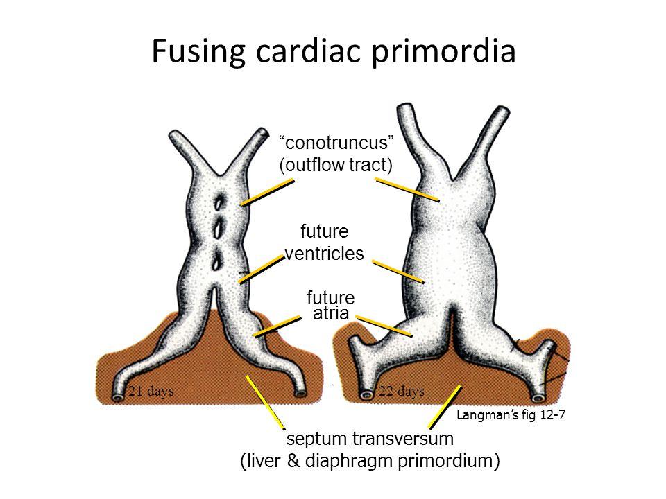 Fusing cardiac primordia