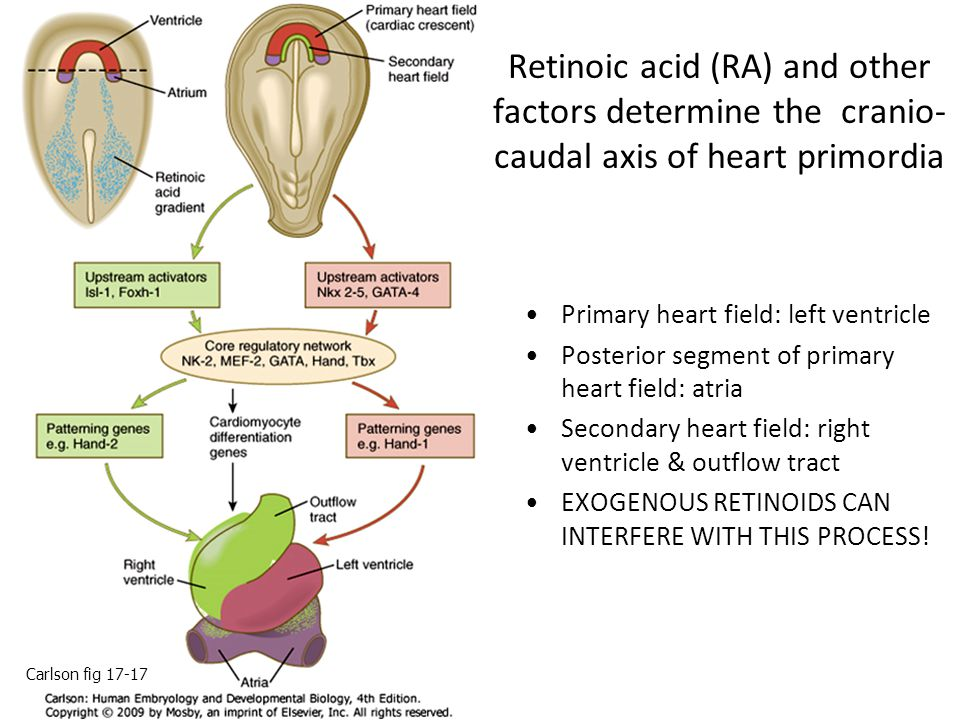 Retinoic acid (RA) and other factors determine the cranio-caudal axis of heart primordia