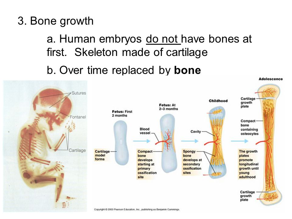 3. Bone growth a. Human embryos do not have bones at first. Skeleton made of cartilage. b. Over time replaced by bone.