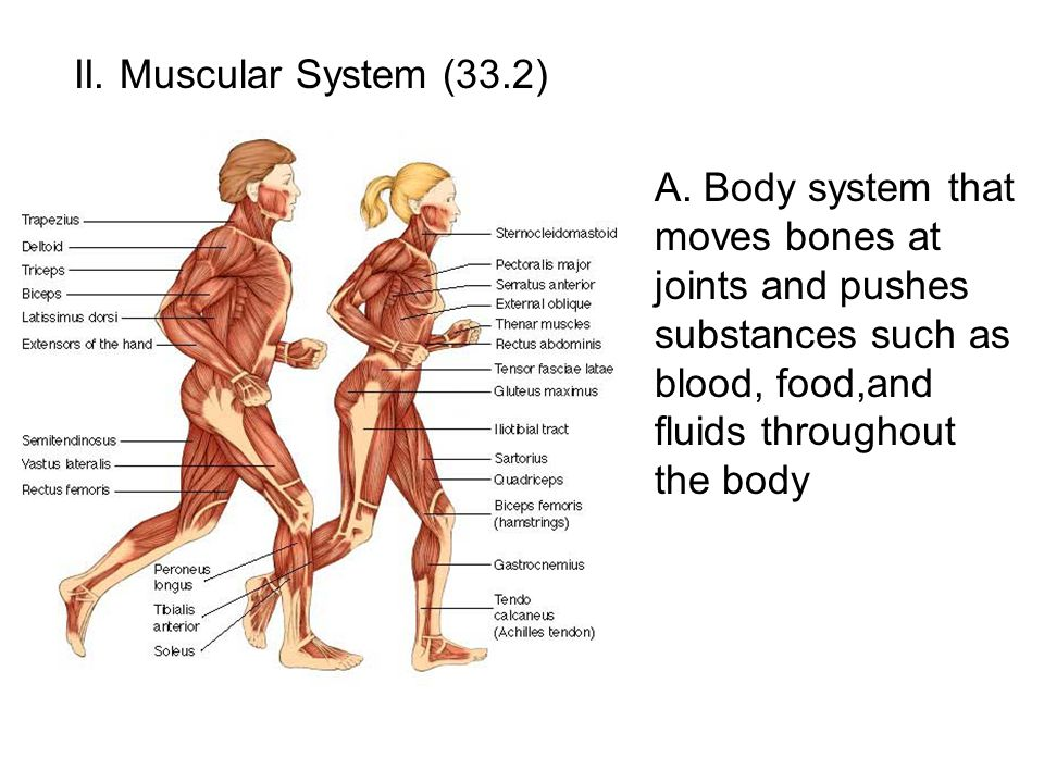 II. Muscular System (33.2) A.