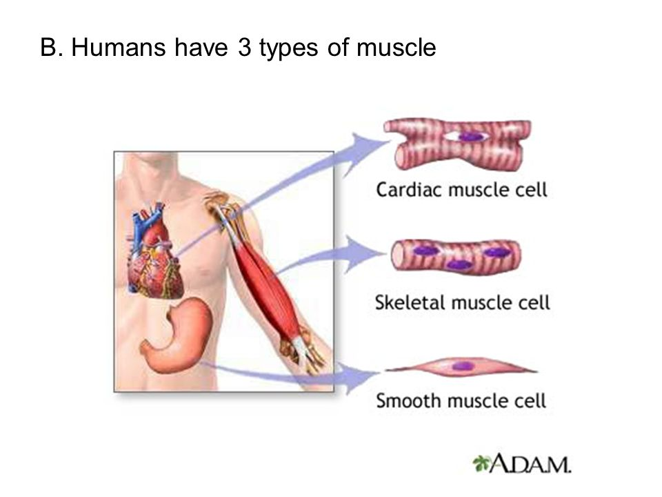 B. Humans have 3 types of muscle