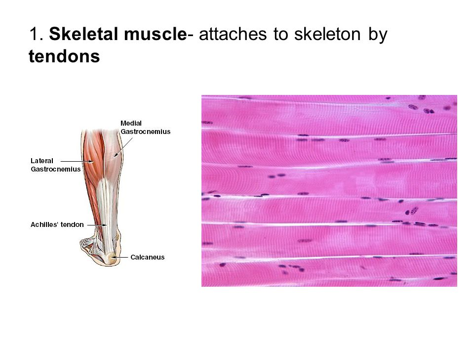1. Skeletal muscle- attaches to skeleton by tendons
