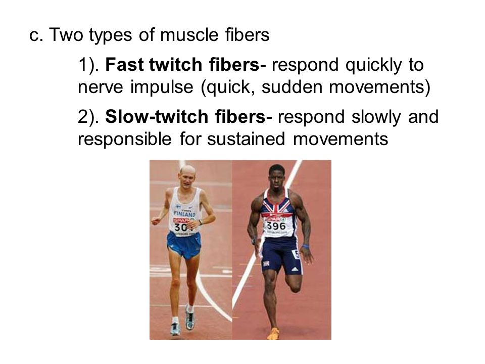 c. Two types of muscle fibers
