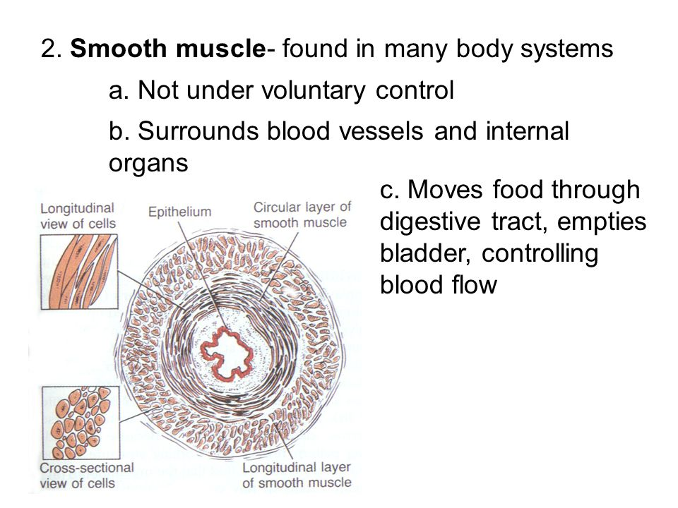 2. Smooth muscle- found in many body systems