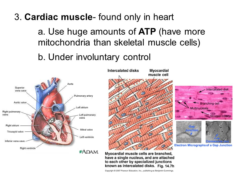 3. Cardiac muscle- found only in heart