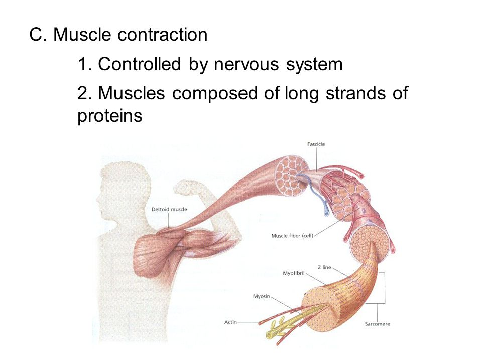 C. Muscle contraction 1. Controlled by nervous system. 2. Muscles composed of long strands of proteins.