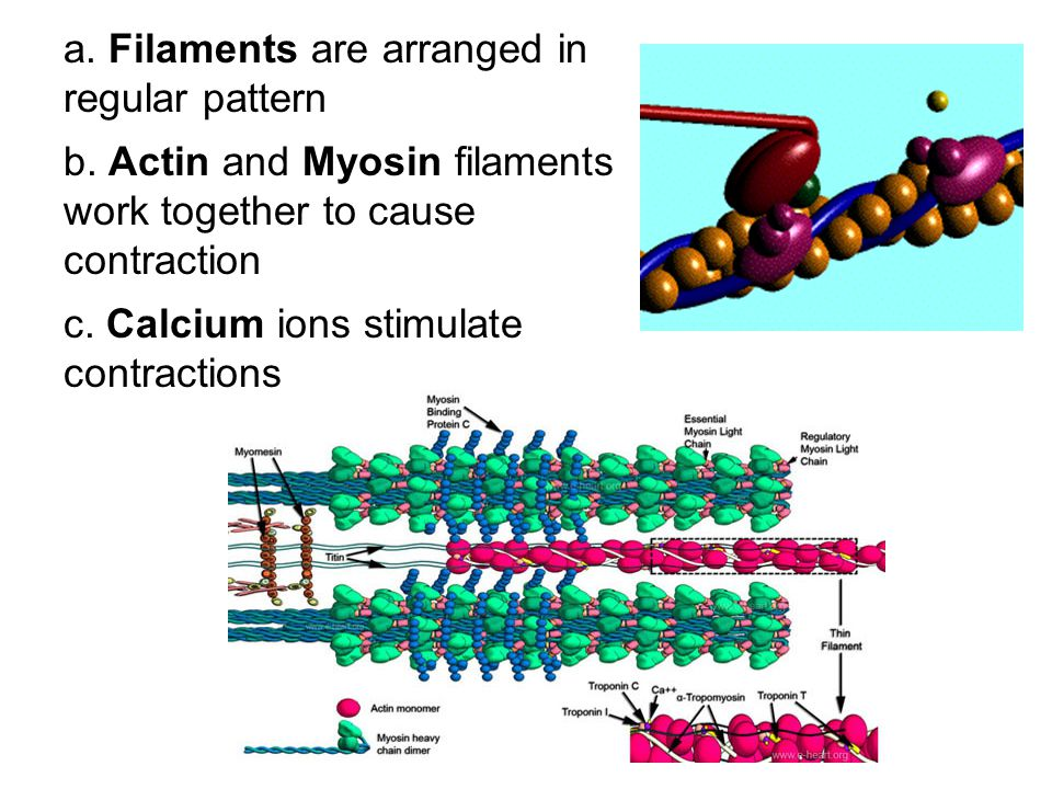 a. Filaments are arranged in regular pattern