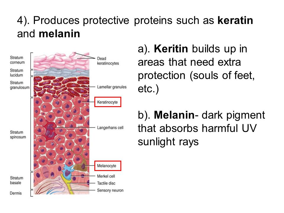 4). Produces protective proteins such as keratin and melanin