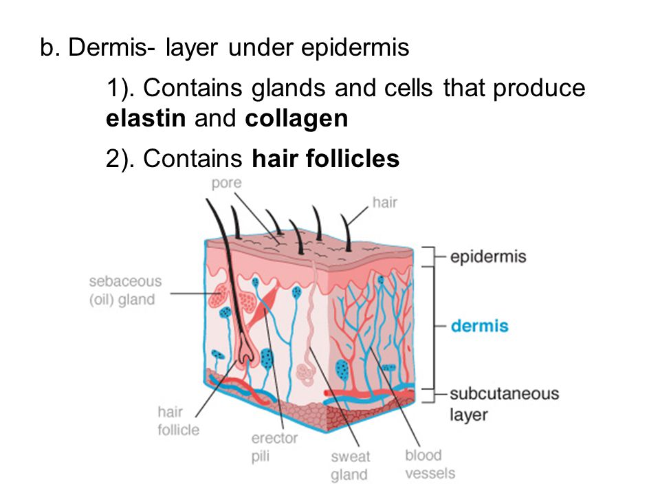 b. Dermis- layer under epidermis
