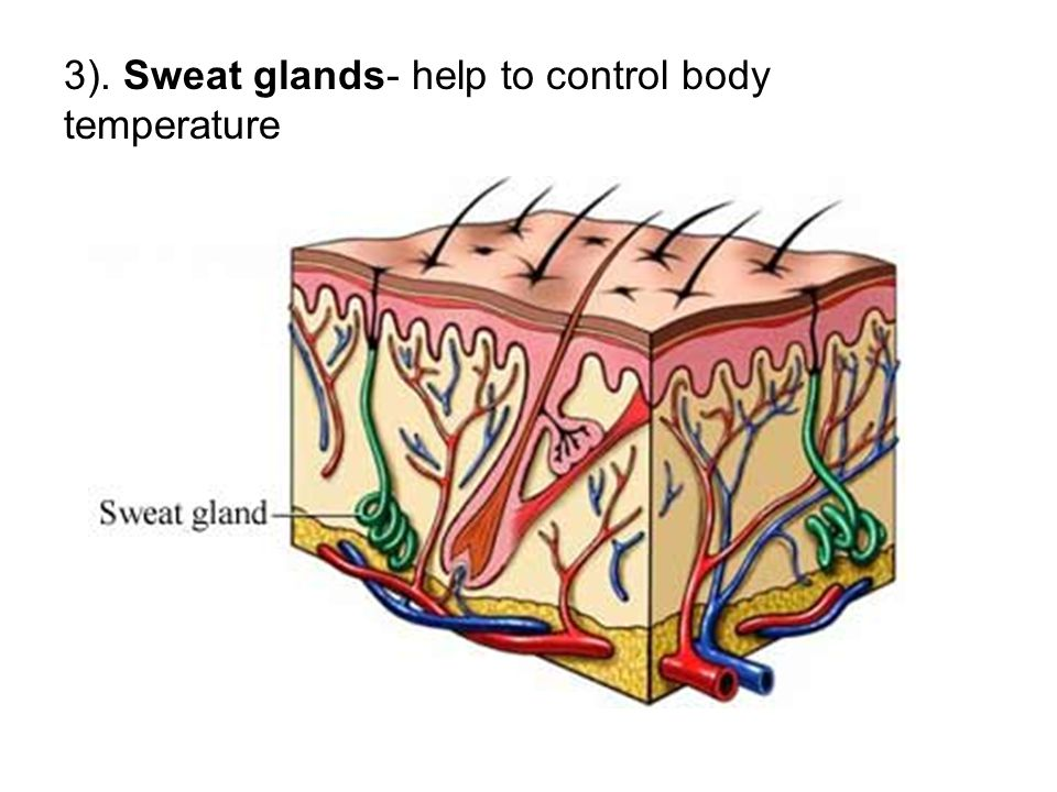 3). Sweat glands- help to control body temperature