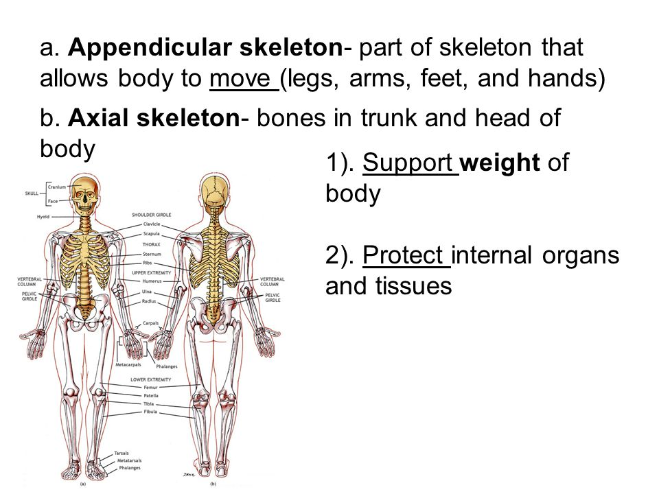 a. Appendicular skeleton- part of skeleton that allows body to move (legs, arms, feet, and hands)