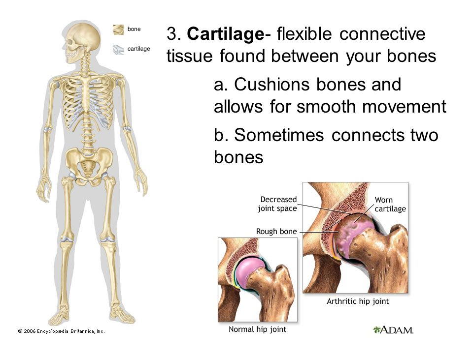 3. Cartilage- flexible connective tissue found between your bones