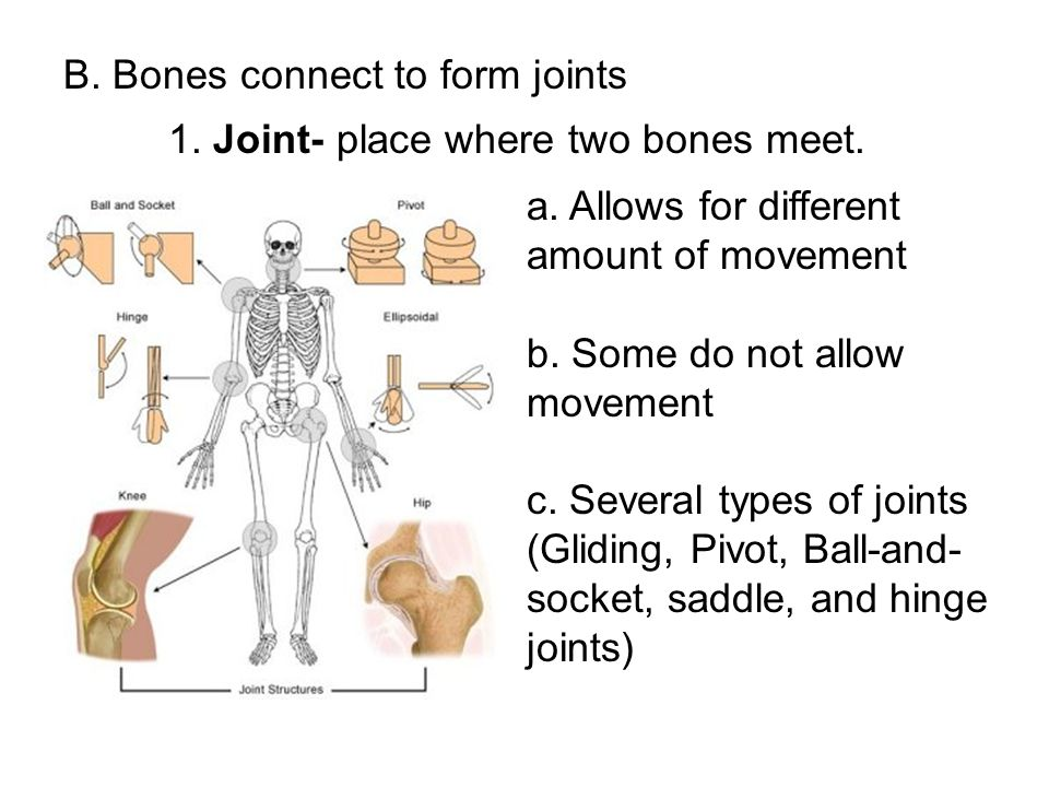 B. Bones connect to form joints