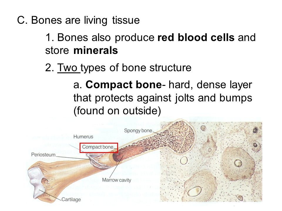 C. Bones are living tissue
