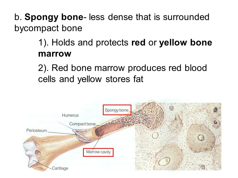 b. Spongy bone- less dense that is surrounded bycompact bone