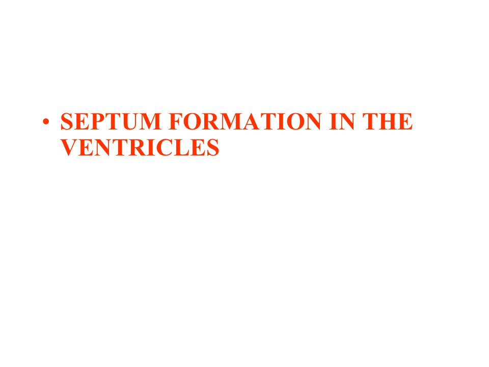 SEPTUM FORMATION IN THE VENTRICLES