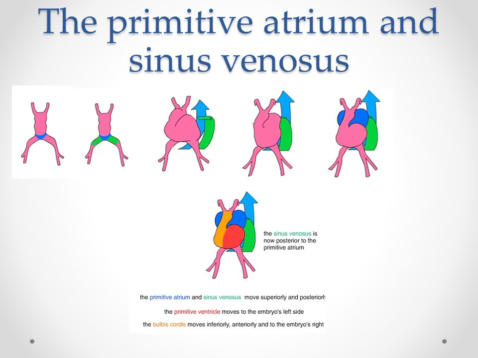 The primitive atrium and sinus venosus
