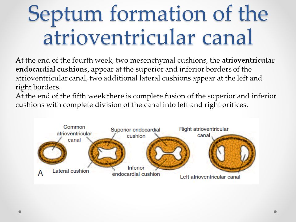 Septum formation of the atrioventricular canal