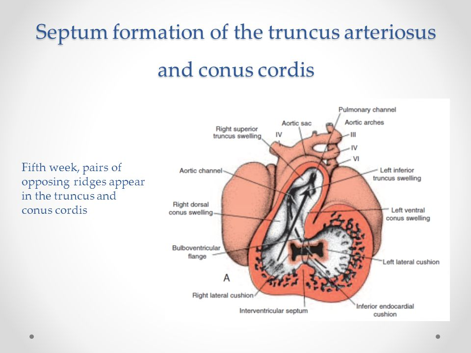 Septum formation of the truncus arteriosus and conus cordis