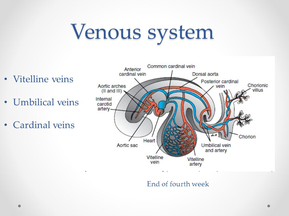 Venous system Vitelline veins Umbilical veins Cardinal veins