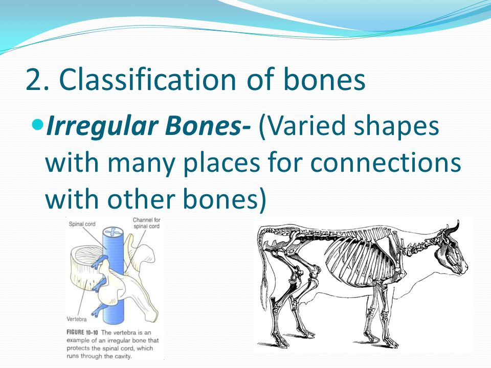 2. Classification of bones