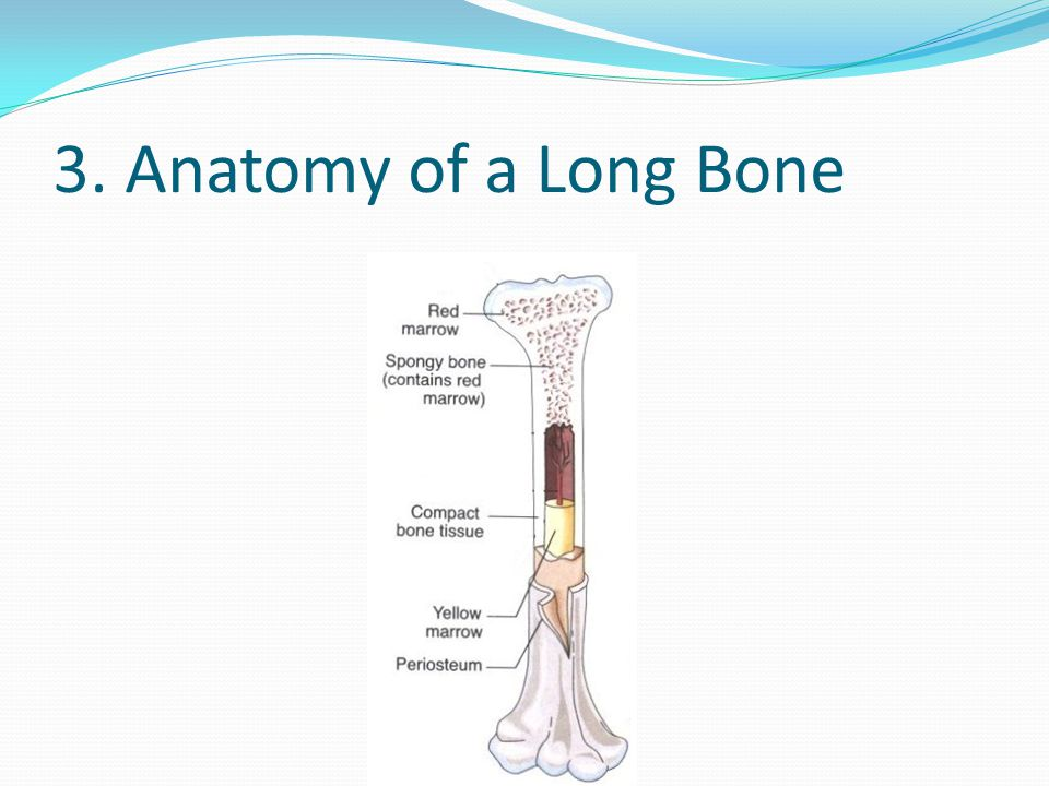 3. Anatomy of a Long Bone