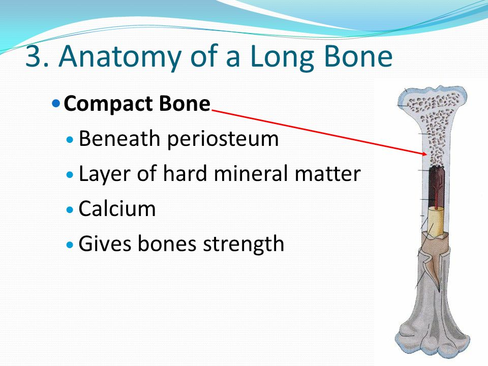 3. Anatomy of a Long Bone Compact Bone Beneath periosteum