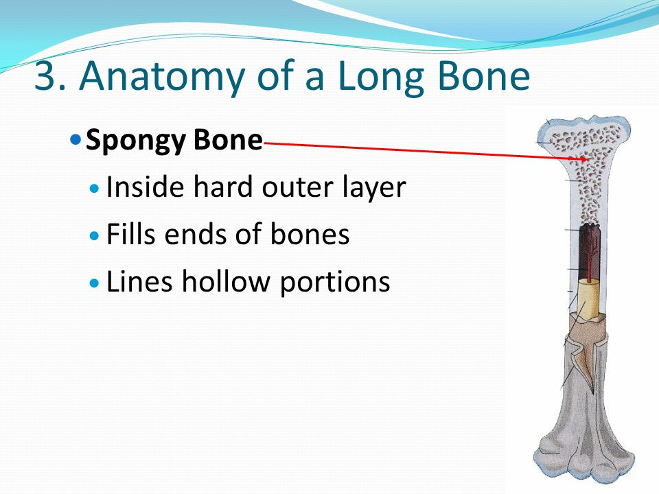 3. Anatomy of a Long Bone Spongy Bone Inside hard outer layer