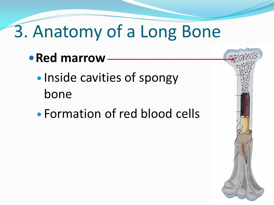 3. Anatomy of a Long Bone Red marrow Inside cavities of spongy bone