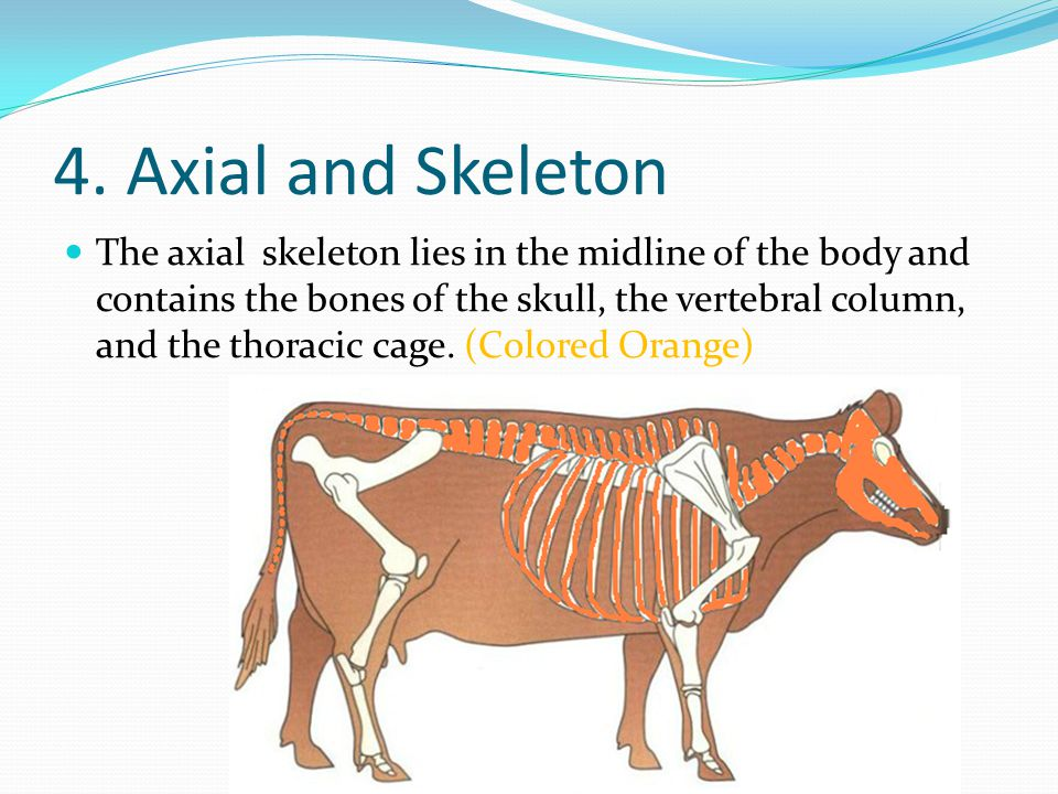 4. Axial and Skeleton