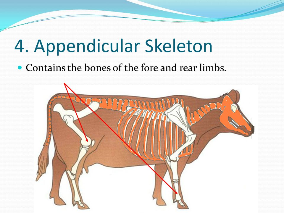 4. Appendicular Skeleton