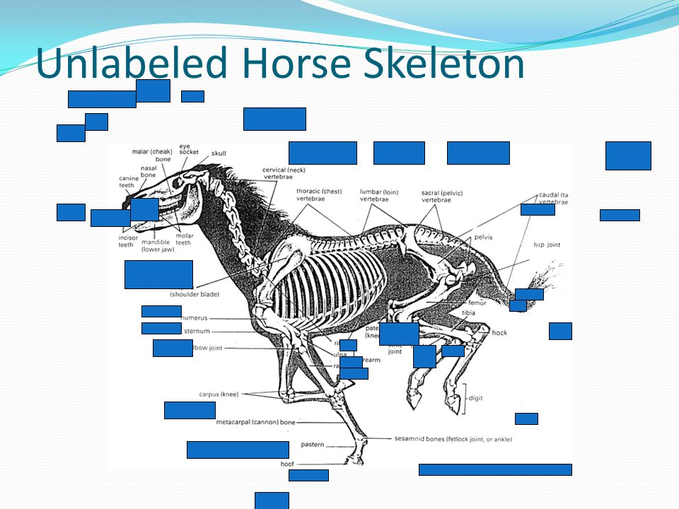 Unlabeled Horse Skeleton