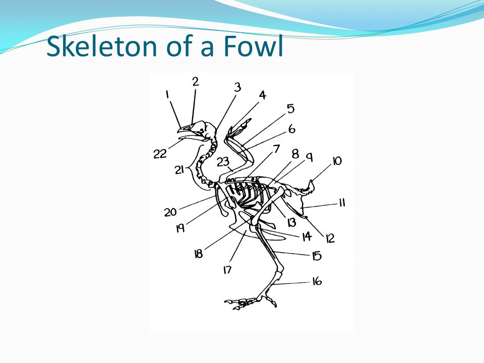 Skeleton of a Fowl