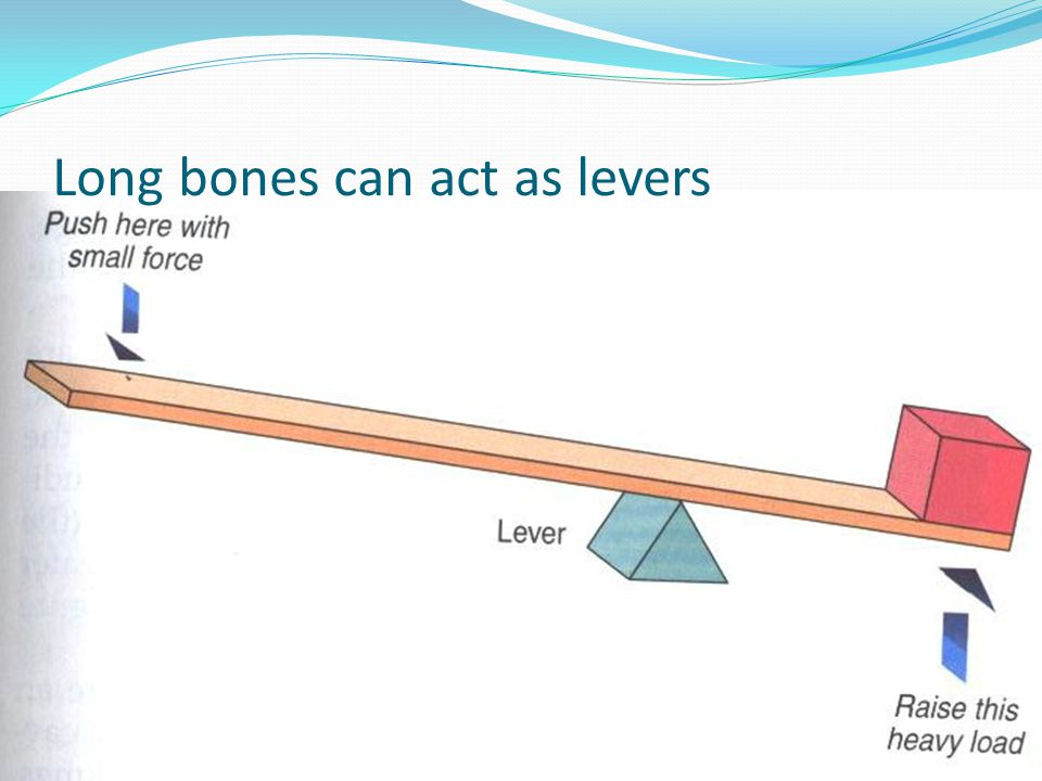 Long bones can act as levers