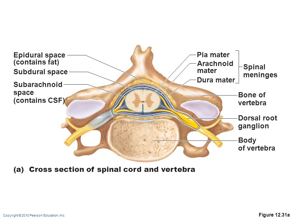 (a) Cross section of spinal cord and vertebra