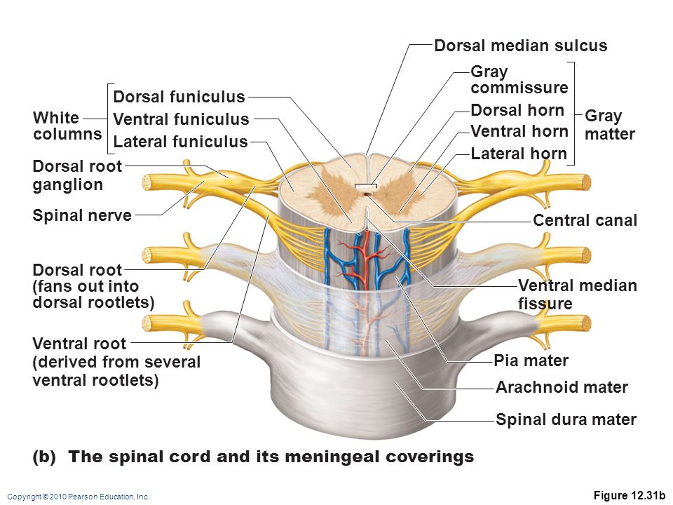 (b) The spinal cord and its meningeal coverings