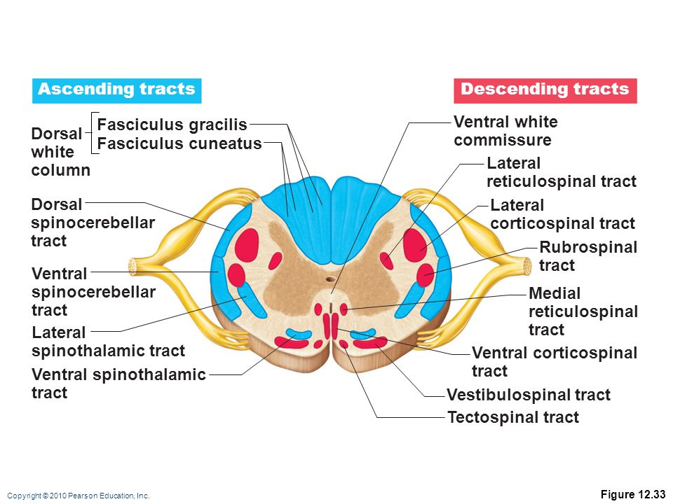 Ventral corticospinal tract Ventral spinothalamic tract
