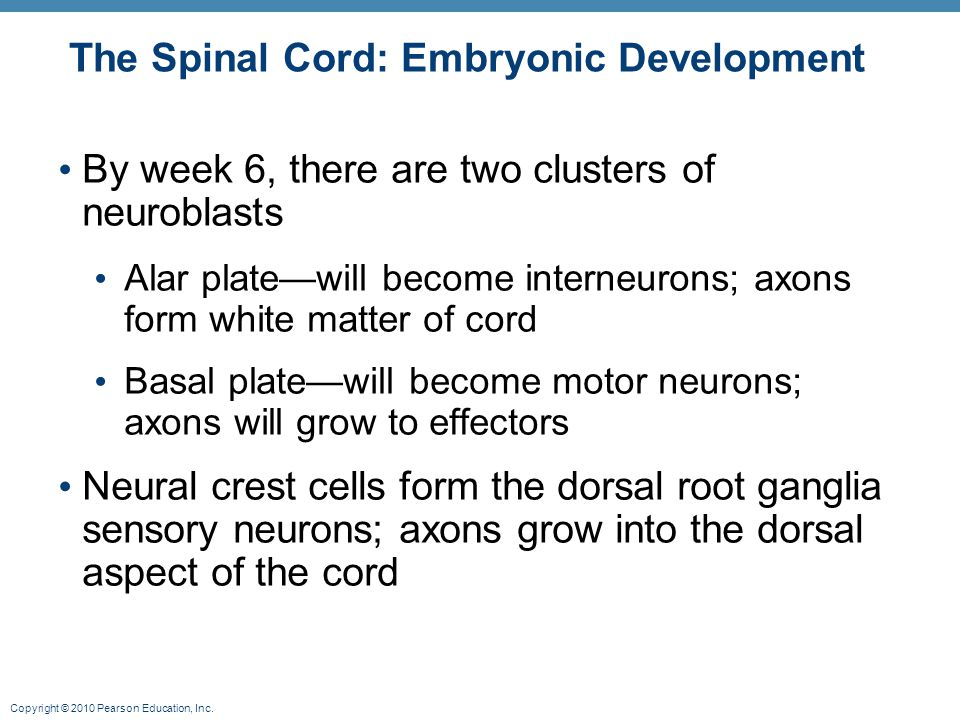 The Spinal Cord: Embryonic Development