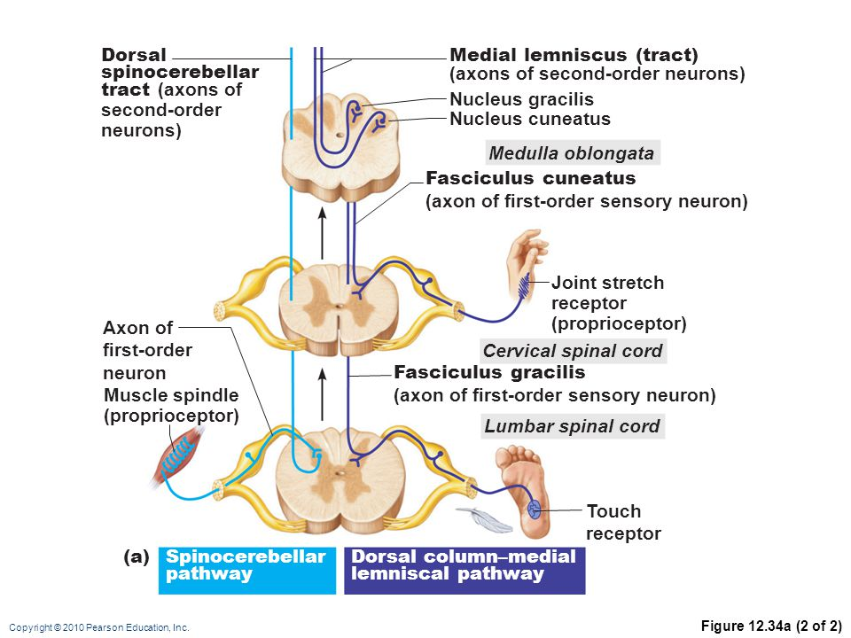 Medial lemniscus (tract) (axons of second-order neurons)